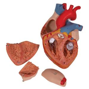 Heart 2-times lifesize