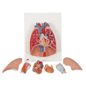 Lung Model with Larynx