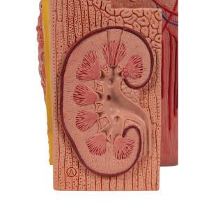 3BMICROanatomy Kidney