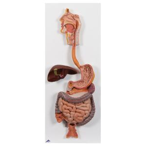 Digestive System, Part