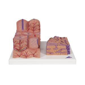 3BMICROanatomy Liver