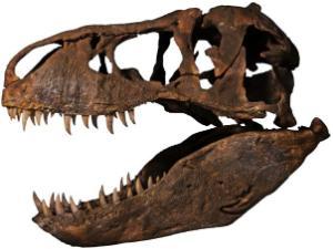 T-REX skull full scale replica