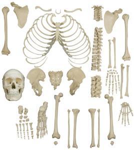 Rudiger® Disarticulated Human Skeleton