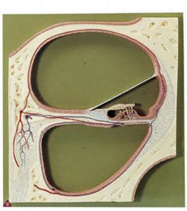 Somso® Cochlea Section Model