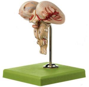 Somso® Brain Stem Model