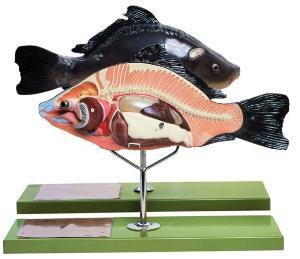 Somso® Bony Fish Model