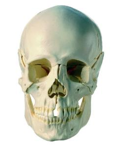 Somso® Dissectible Skulls