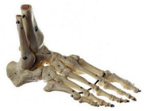 Somso® Flexible Articulated Foot Skeleton