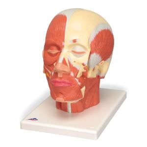 Model Head and Neck Musculature