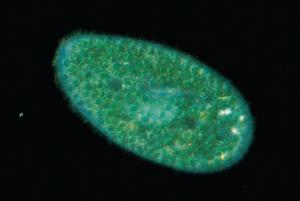 Live Paramecium bursaria