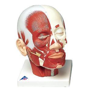 Head Musculature