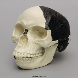 BoneClones® Piltdown Man Hoax Replica