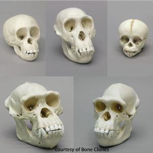 BoneClones® How We Got Here Skull Sets