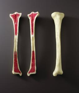 Ward's® FoamBone Dissection: Exploring Bone Anatomy Demo Kit