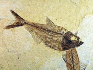Diplomystus & Knightia sp. (Eocene)