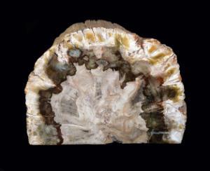 Araucaria sp. (Triassic)