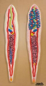 Ward's® Clonorchis Model