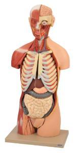 Eisco® Muscular Open Back Torso