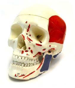 Eisco® Painted Muscular Skull
