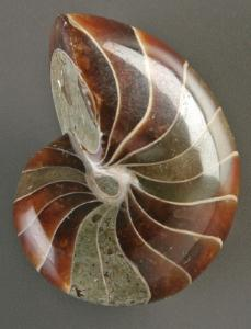 Nautilus sp. (Cretaceous)