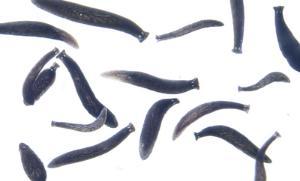 Ward's® Live Black Planaria (<i>Phagocata gracilis</i>)
