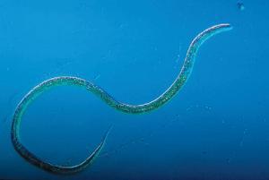 Ward's® Live Turbatrix aceti (Vinegar Eel) Culture