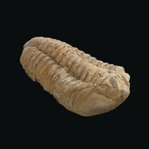 <i>Diacalymene ouzregui </i>(Ordovician)