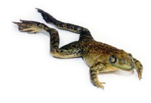 Formaldehyde-Free Preserved Bullfrogs