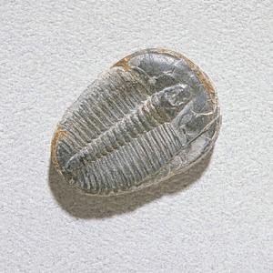Elrathia kingi (Cambrian)