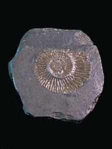 <i>Dactylioceras species</i>