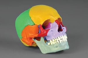 Rudiger® Teaching Skull