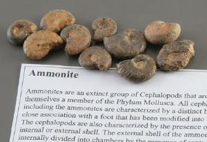 Ammonite Fossil Study Pack