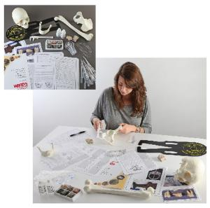 Ward's® New York Vikings: A Lab Activity in Forensic Anthropology and Geology