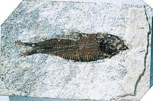 Fossilized Fish (Eocene)
