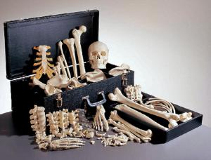 Somso® Female Disarticulated Skeleton