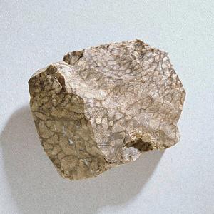 Chlorellopsis coloniata (Eocene)