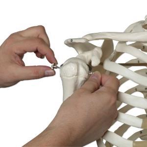 3B Scientific® Rod Mount Skeleton