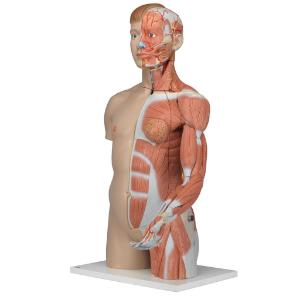 3B Scientific® Dual Sex Torso With Muscular Arm