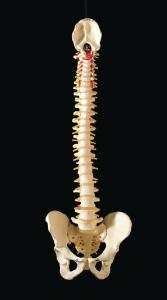 3B Scientific® Flexible Vertebral Column