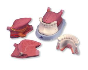 3B Scientific® Tongue And Mouth Floor