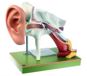 Somso® Auditory System Model