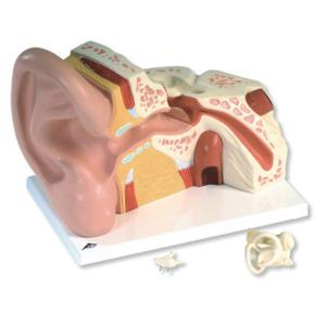 3B Scientific® Giant Ear