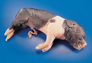Formaldehyde-Free Fetal Pigs