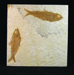 Knightia sp. (Eocene)
