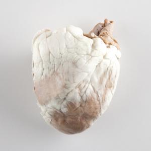 Plastinated Biological Specimens - Bisected Sheep Heart