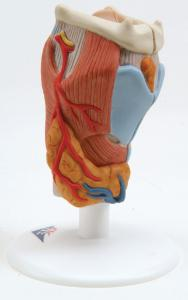 3B Scientific® Larynx Models