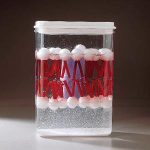 Ward's® Biomembrane Model