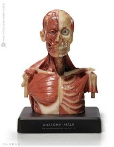 Anatomy Tools® Anatomical Upper Body Figure