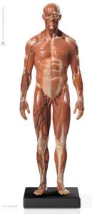 Anatomy Tools® Muscular Male, 1:6 Figure