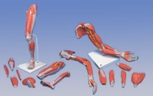 3B Scientific® Limb Musculature Bundle